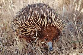Australian Echidna #nature #native animal