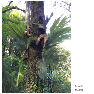 Exploring the hinterland near Byron Bay Australia, one finds staghorn ferns and birdsnest ferns