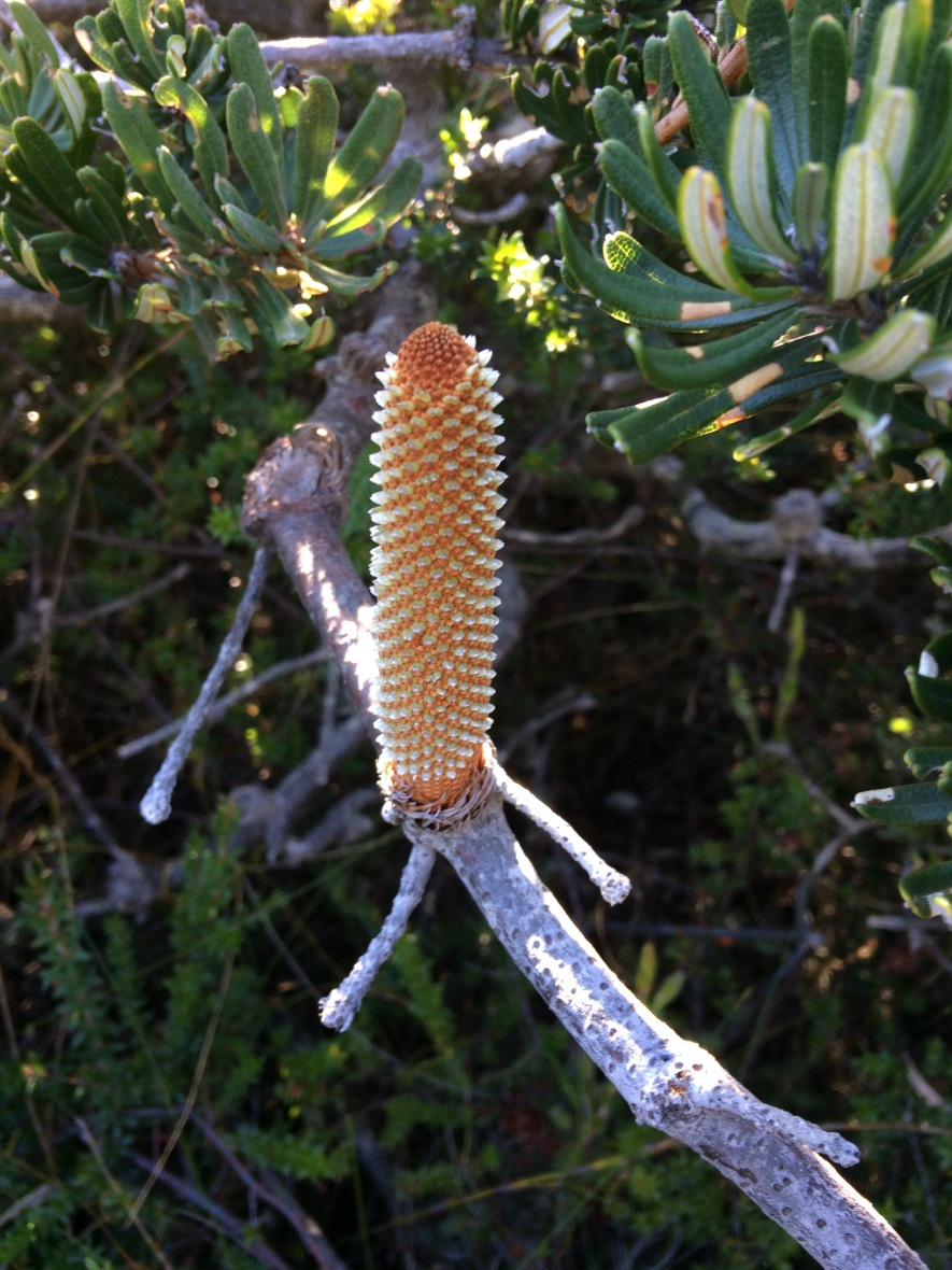 Banksia while walking for wellbeing through coastal plains in Tasmania, Australia