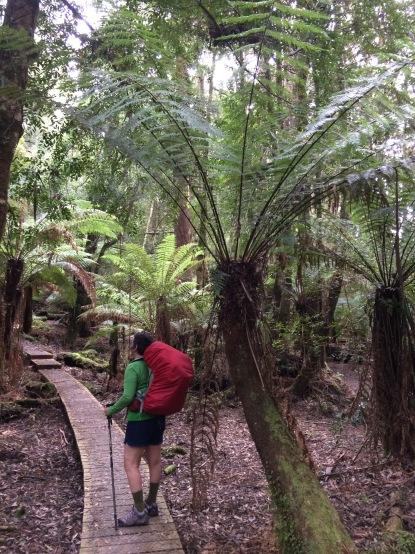 tree fern forest #rainforest #tasmania #australia #threecapestrack