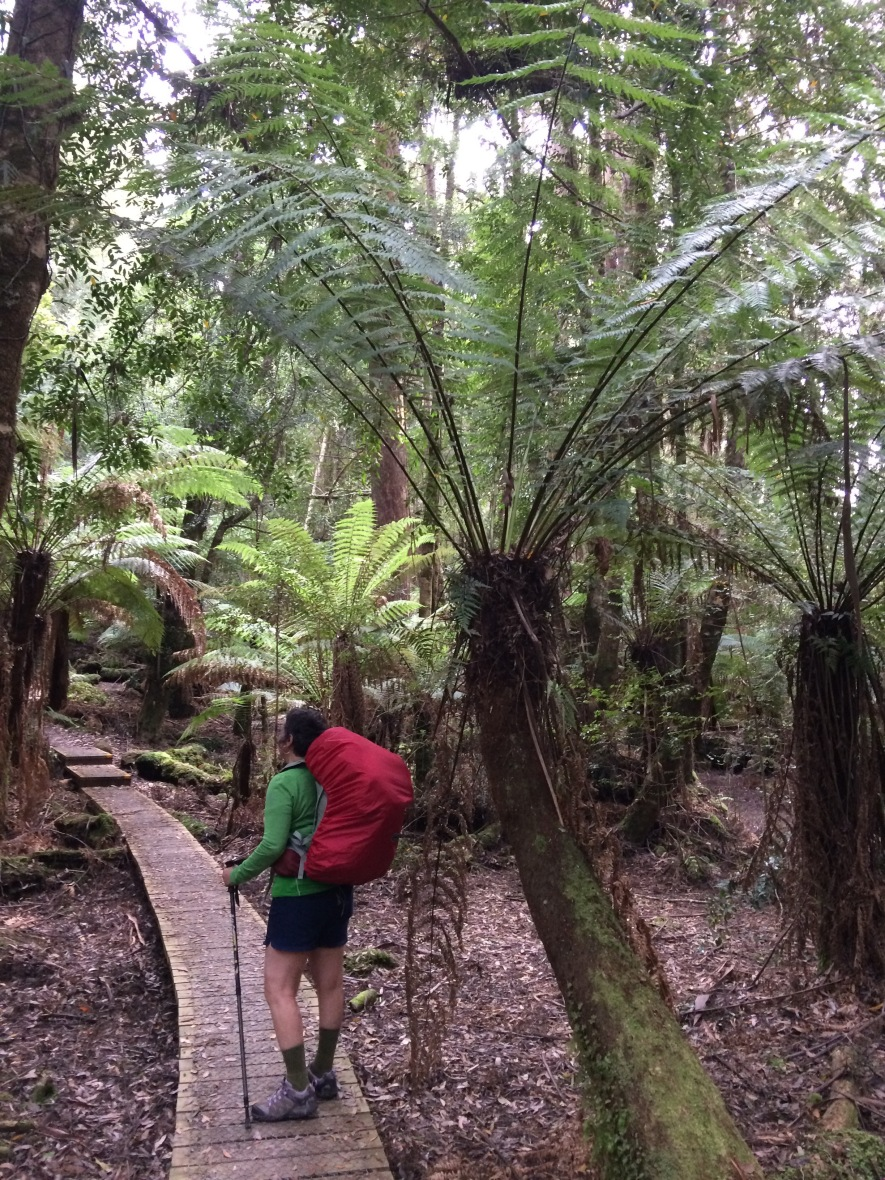 tree fern forest #rainforest #tasmania #australia #threecapestrack