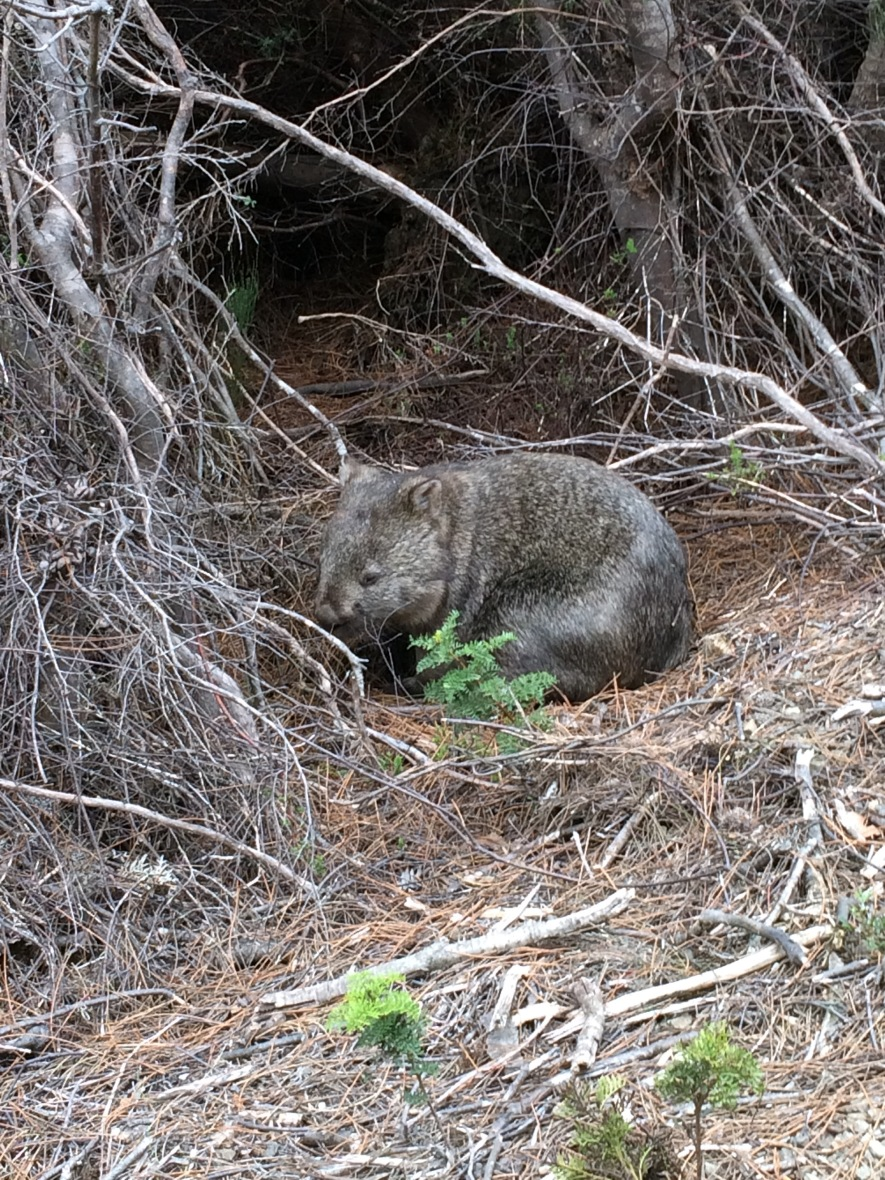 #nativeanimal #wombat #australia #tasmania #threecapestrack #wildlife #over50adventure