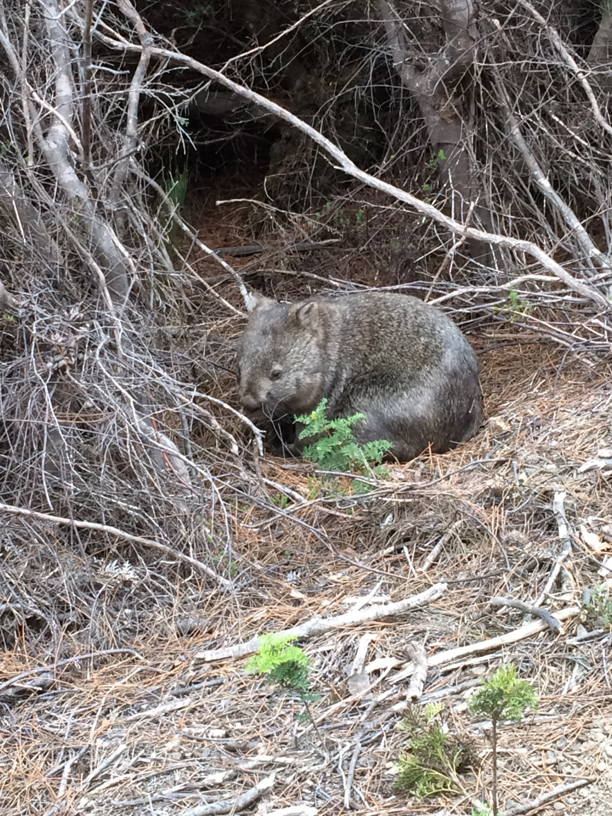 #nativeanimal #wombat #australia #tasmania #threecapestrack #wildlife #over50adventure