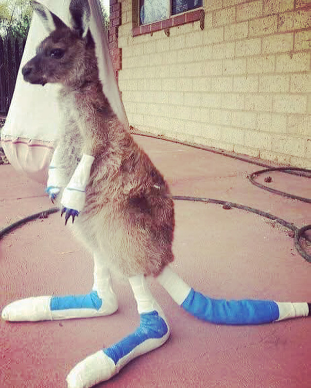 Australian bushfires are a tragedy for the kangaroos