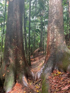 Rainforest trees in Australia make me happy